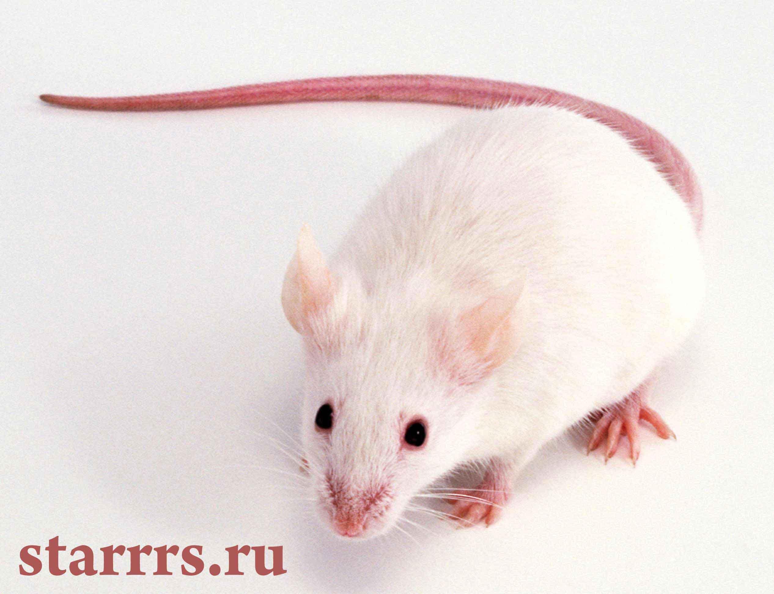 krysa_belaya_metallicheskaya_rat_white_Metal