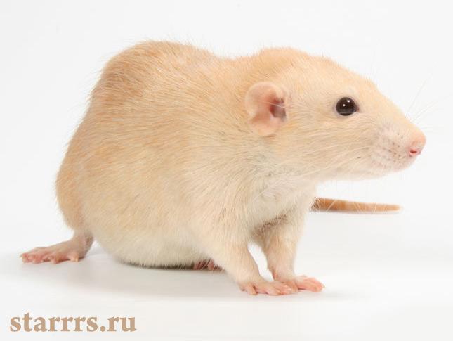 krysa_zhyoltaya_zemlyanaya_rat_yellow_earth