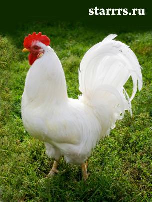 petukh_belyy_metallicheskiy_rooster_white_metal