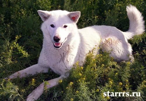 sobaka_belaya_metallicheskaya_dog_white_metal
