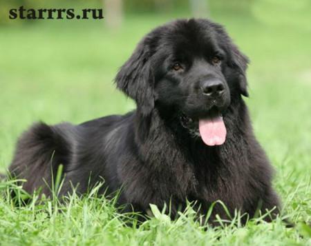 sobaka_chyornaya_vodyanaya_dog_black_water