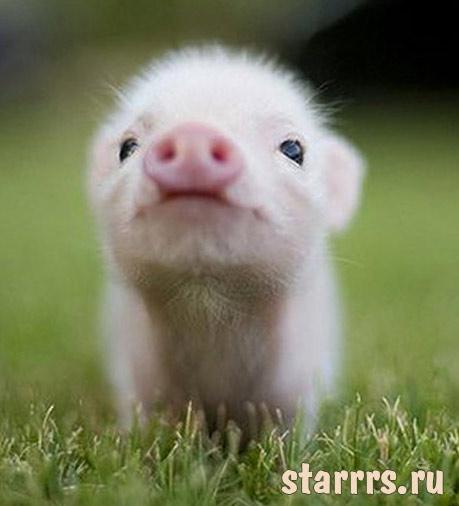 Свинья, детский гороскоп