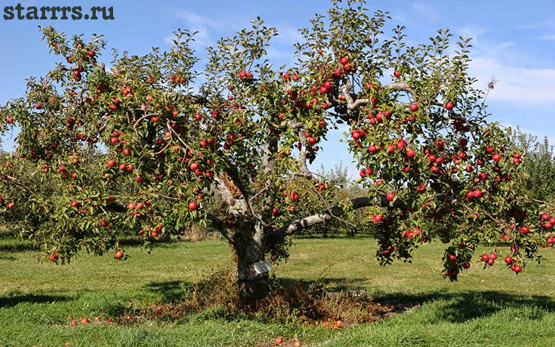 Яблоня, гороскоп друидов
