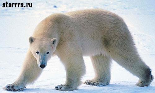 Белый медведь, зороастрийский гороскоп